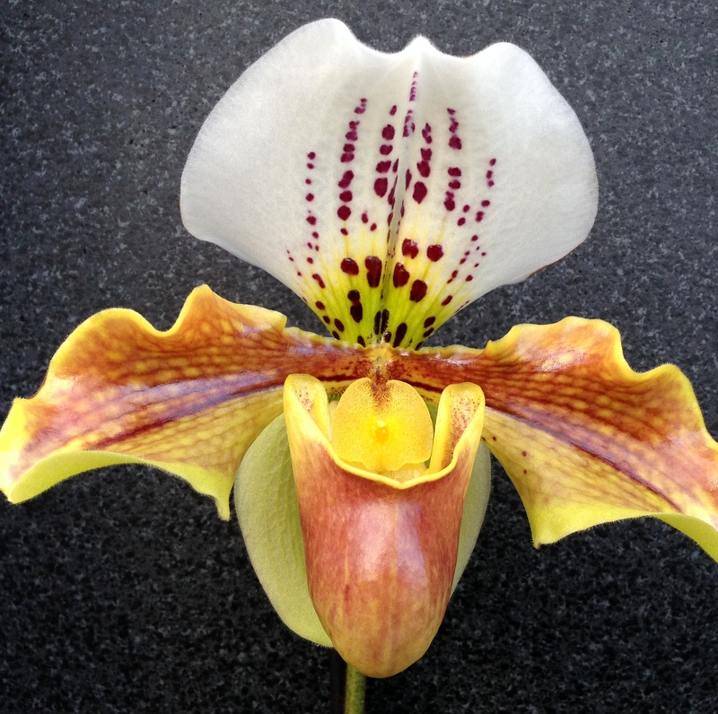 orchideen gartencenter blumenparadies hasselt. Black Bedroom Furniture Sets. Home Design Ideas