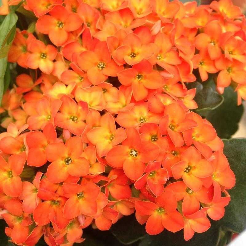 Zimmerpflanzen gartencenter blumenparadies hasselt for Zimmerpflanzen pflegeleicht